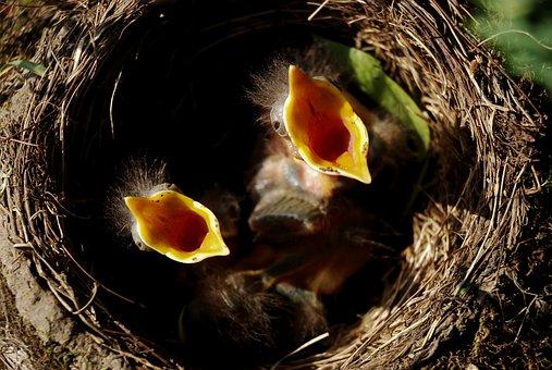 deux oiseaux dans un nid qui crie car ils ont faim