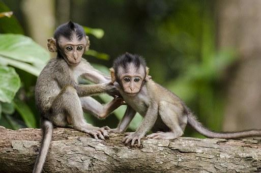 petits singes jumeaux
